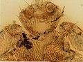 Melophagus ovinus (YPM IZ 098227).jpeg