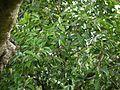 Memecylon umbellatum (5894432304).jpg
