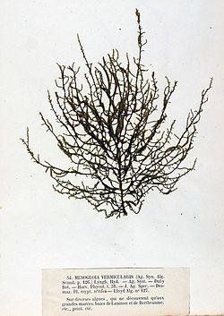 Mesogloia vermiculata 1 Crouan.jpg
