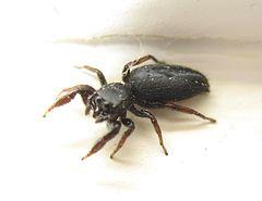 240px metacyrba jumping spider nj