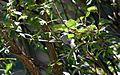 Mexican chickadee - Flickr - GregTheBusker (3).jpg