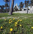 Miami Beach Fauna - Yellow Flowers 038A.jpg