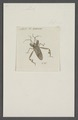 Mictis - Print - Iconographia Zoologica - Special Collections University of Amsterdam - UBAINV0274 040 04 0004.tif