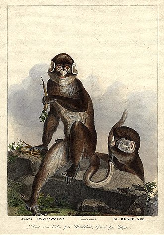 Simon Charles Miger - White-nosed monkey of Benin. Cercopithecus petaurista. Plate from La Ménagerie du Muséum by Simon Charles Miger.