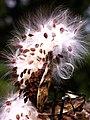 Milkweed seed 1r.jpg