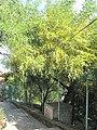 Mimosa du chemin des pins 1.jpg