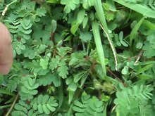 Dosiero:Mimosa pudica leaves folding when touched 2.ogv