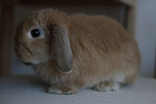 Mini Lop breed of rabbit