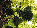 Mistletoe in acacia tree - geograph.org.uk - 518573.jpg