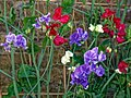 Mixed sweet peas 'Lathyrus odoratus' at Boreham, Essex, England 1.jpg