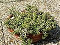 Monanthes laxiflora PICT3820.jpg