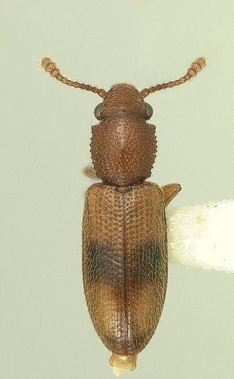 Silvanidae - Dorsal habitus of Monanus concinnulus.
