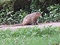 Mongoose in hunger.jpg