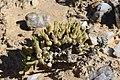 Monilaria cf scutata ssp. obovata (Aizoaceae) (23582941978).jpg