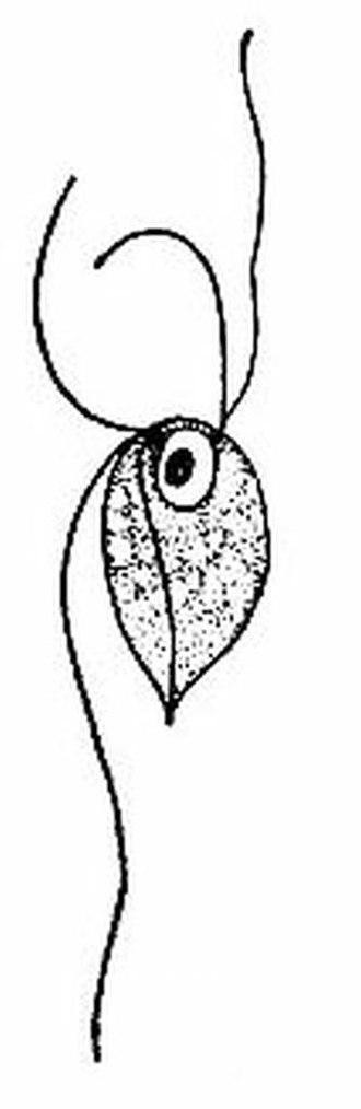 Anaeromonadea - Monocercomonoides melolanthae