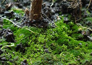 Stratification (vegetation) - Moss layer on the forest floor