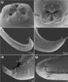 Moravec & Justine - Euterranova n. gen. and Neoterranova n. gen - parasite200141-fig2.png