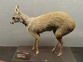 Moschus berezovskii - Kunming Natural History Museum of Zoology - DSC02453.JPG