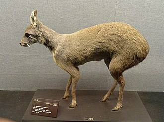 Dwarf musk deer - Image: Moschus berezovskii Kunming Natural History Museum of Zoology DSC02453