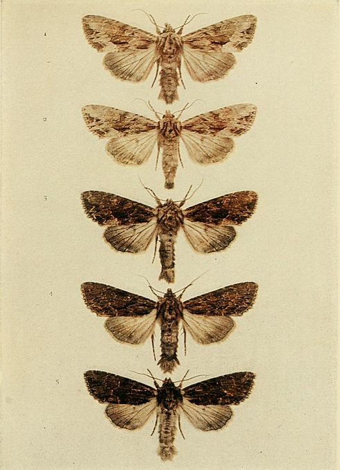 Moths of the British Isles Plate136.jpg