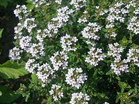 Mouche sur du thym en fleurs à Grez-Doiceau 002.jpg