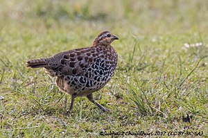 Mountain bamboo partridge - female at Khonoma, Nagaland, India