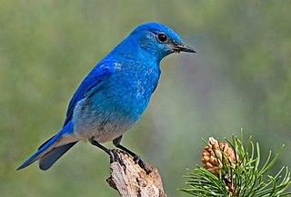 Mountain bluebird species of bird