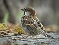 Mr Sparrow (50583149636).jpg