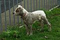 Muddy Staffie Pup (5584826617).jpg