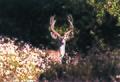 Mule deer (19844391853).jpg
