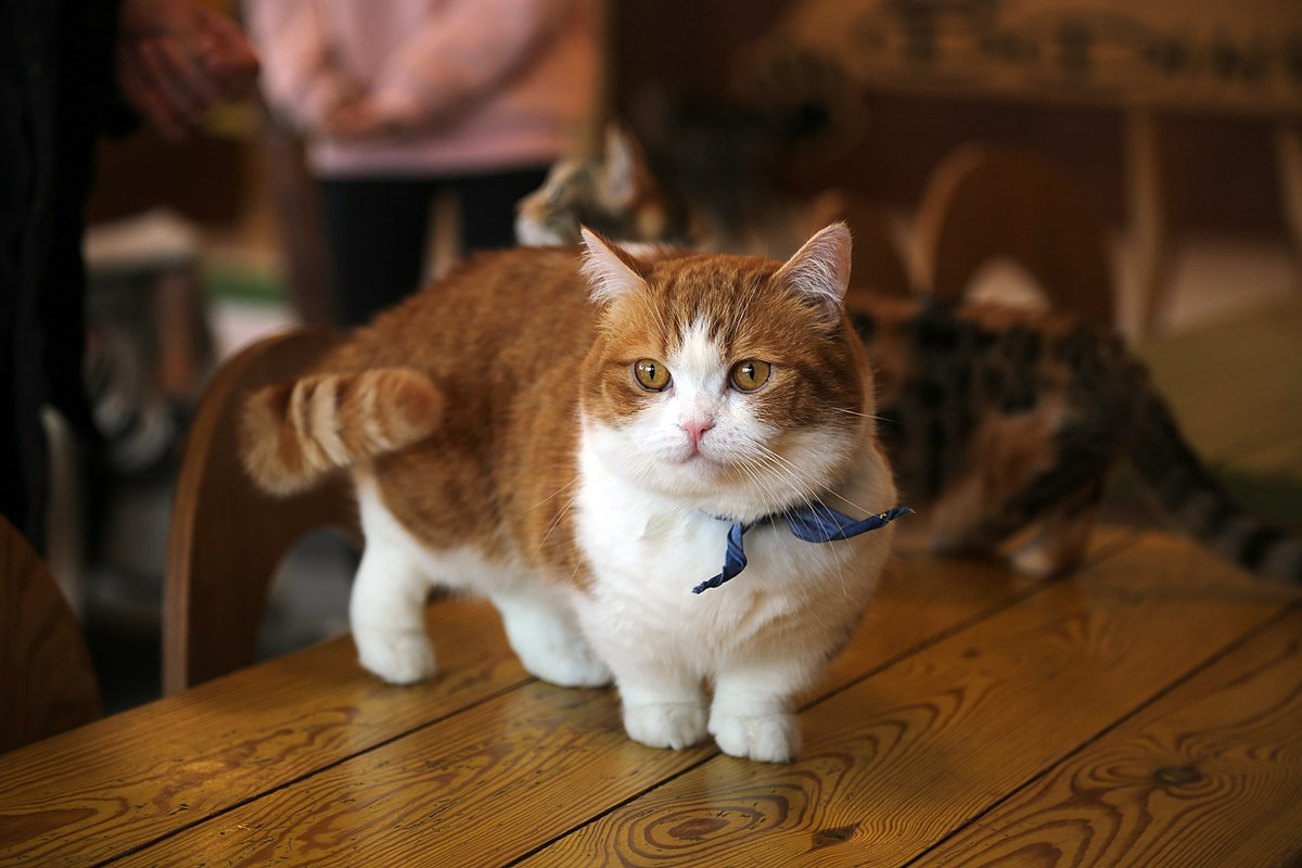 Category Munchkin Cats Wikimedia Commons