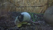 Tập tin:Mus musculus - japanese house mouse.ogv