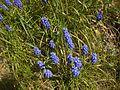 Muscari botryoides in Skansen spring 2008.jpg