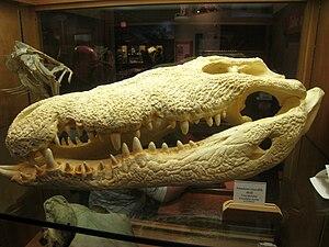 American crocodile - Large American crocodile skull