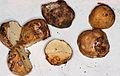 Mushroom Observer- Image- Leucogaster (98647-cropped).jpg