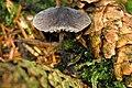 Mycena galopus var. nigra - Lindsey 1a.jpg