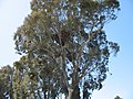 Myiopsitta monachus -large nests in gum trees3.jpg