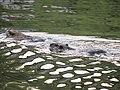 Myocastor coypus in pond of Jokoji Park - 4.jpg