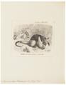 Myrmecophaga tetradactyla - 1700-1880 - Print - Iconographia Zoologica - Special Collections University of Amsterdam - UBA01 IZ21000057.tif