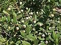 Myrtus communis4.jpg