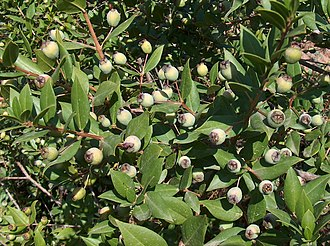 "Myrtus - Unripe myrtle berries of blue (""black"") variety."