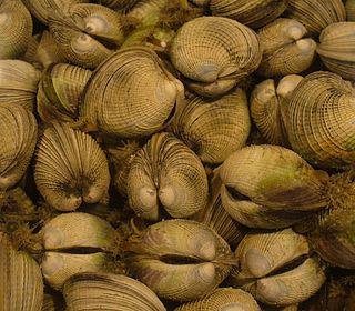 Heterodonta Subclass of molluscs