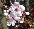 Nahaufnahme Frühlingsblüte.JPG