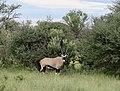 Namibien Oryx male.jpg