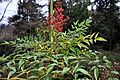 Nandina domestica Heavenly Bamboo ნანდინა.JPG
