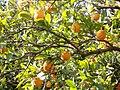 Naranjas valencianas 2.jpg