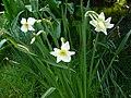 Narcissus medioluteusRHu.jpg