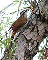 Narrow-billed woodcreeper (Lepidocolaptes angustirostris) - Flickr - Lip Kee (1).jpg