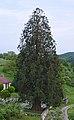 Naturdenkmal Mammutbaum Ochsenbach Sachsenheim.jpg