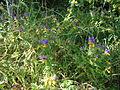 Nature of Minsk - flower Melampyrum nemorosum - 25 July 2015 AD.JPG